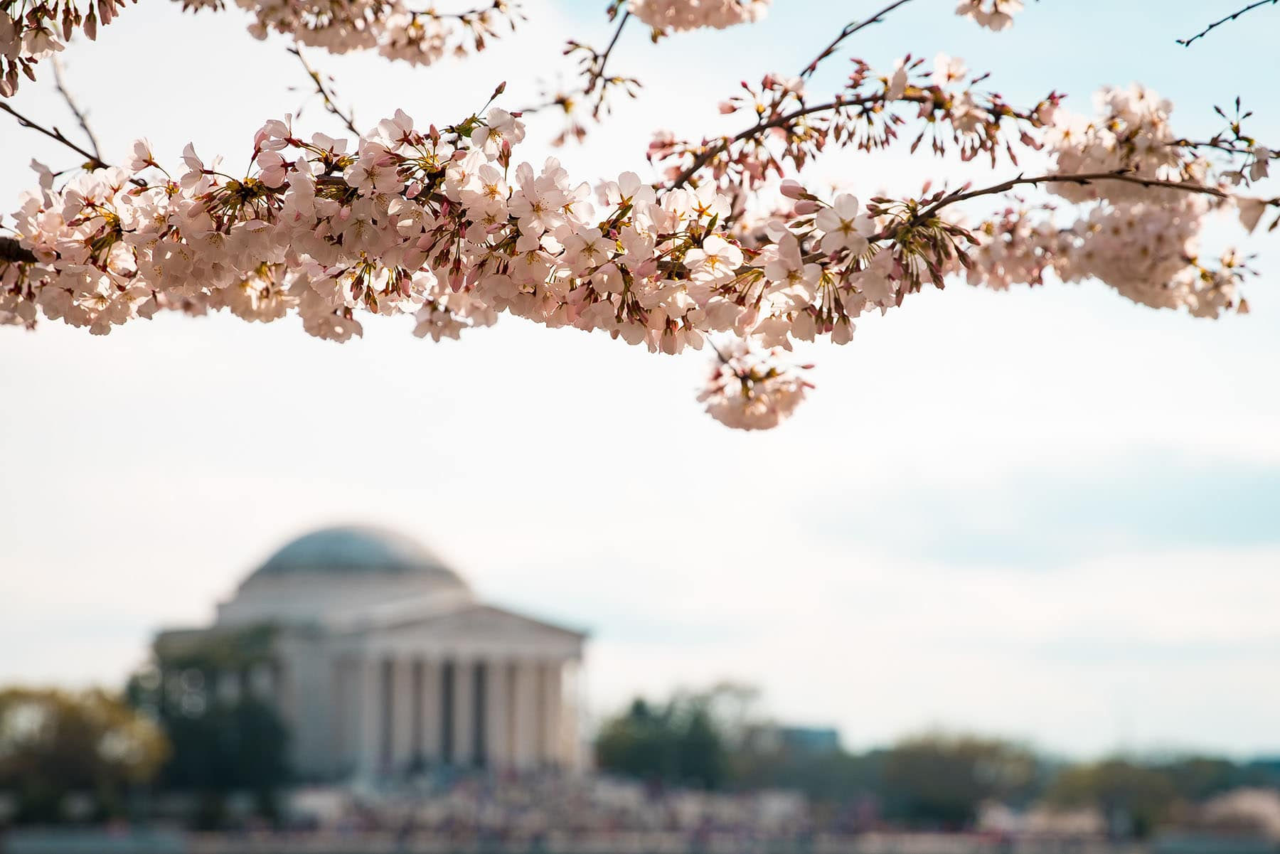 Cheery blossom in the capital